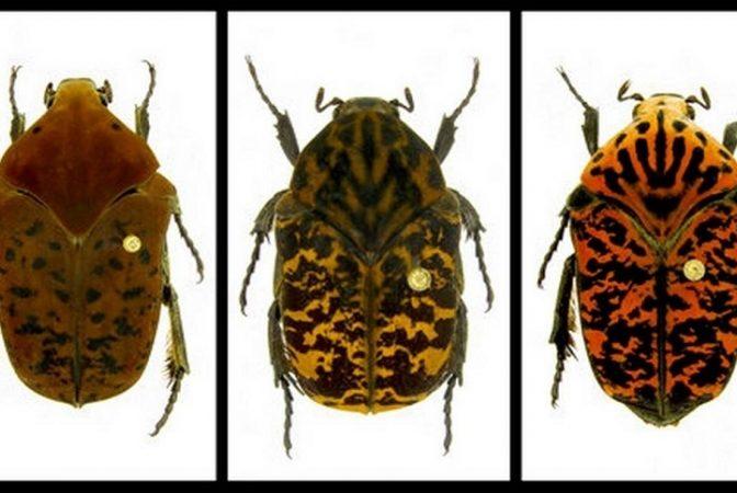 Anumite specii de gândaci vor deveni imposibil de ucis cu ajutorul pesticidelor - Pot fi întâlniți și în România